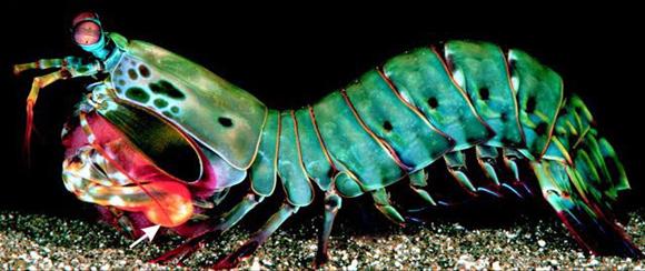 camaron-mantis-perfil1